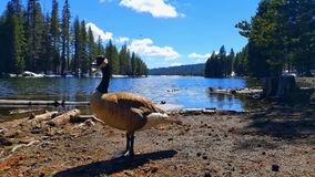 Canadian goose in front of the alpine lake. Canadian goose in front of the alpine lake with blue sky and white clouds Royalty Free Stock Photography
