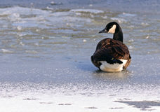 Canadian Goose on a frozen lake. A Canadian goose resting on a frozen lake before taking flight Royalty Free Stock Photo