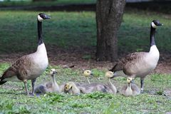 Canadian Goose Gander and Gosling Family, Branta canadensis maxima, in a Park Stock Photo