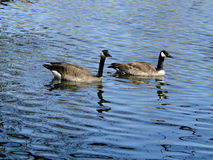 Canadian Goose and Gander Royalty Free Stock Images