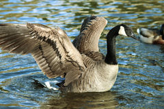 Canadian Goose Geese spreading its wings Royalty Free Stock Photography