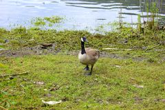 Canadian Goose. A  goosee picking and eating at the grass, summer time in BC. Enjoying the sunny weather. Beautiful large birds. Goslings enjoying a snack. Near Stock Photo