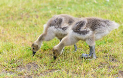 Canadian goose or goosling feeding on the grass. Two young ones of Canada goose feeding on the grass. The Canada goose (Branta canadensis) is a large wild goose Royalty Free Stock Image