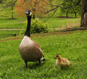 Canadian Goose with Gosling Stock Photo