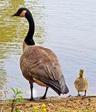 Canadian Goose and Gosling. A watchful mother Canadian Goose and her Gosling standing by the edge of the water Stock Photo