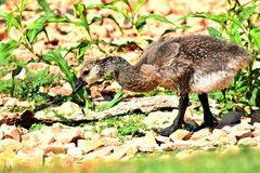 Canadian Goose gosling feeding on Lake Hefner. In Oklahoma City, This was the last of three goslings. He looked very healthy and was starting to stray away from Royalty Free Stock Photos