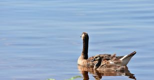 Canadian Goose with gosling on Lake Hefner. In Oklahoma City, This was the last of three goslings . Momma was very protective Royalty Free Stock Photo