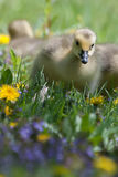 Canadian Goose Gosling resting and eating Stock Photos