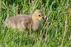 Canadian Goose Gosling resting Royalty Free Stock Photography