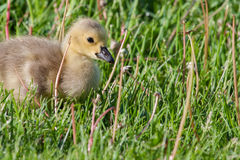 Canadian Goose Gosling resting Royalty Free Stock Photos