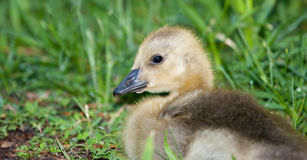 Canadian Goose Gosling Stock Photos