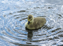 Canadian Goose Gosling Splashing about. Canadian Goose Gosling Splashing about in the river Royalty Free Stock Image