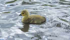 Canadian Goose Gosling Splashing about. Royalty Free Stock Photography