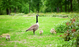 Canadian goose with goslings Stock Image