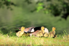 Canadian Goose and Goslings Stock Image