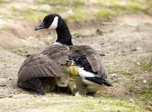 Canadian goose & goslings. Under wing canadian mother goose & goslings Royalty Free Stock Photos