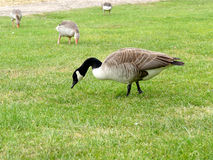 Canadian goose grazing in the grass Stock Photo