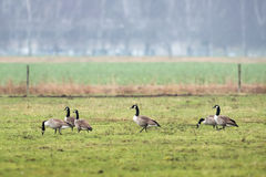 Canadian goose grazing on grass Royalty Free Stock Image