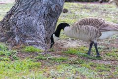 Canadian Goose grazing in a Southern California park royalty free stock photos