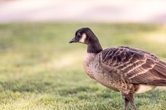 Canadian Goose Bird in the Green Grass stock photos
