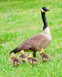 Canadian goose and her goslings during spring. Royalty Free Stock Photos