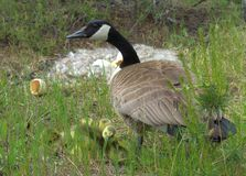 Canadian Goose with her hatchlings Royalty Free Stock Photo