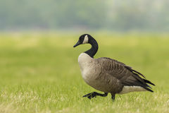 Free Canadian Goose In A Meadow Stock Photos - 72124543