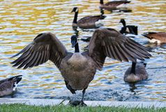 Canadian Goose hoping out of the pond stock photo