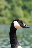 Canadian Goose (Kanada Gans) Royalty Free Stock Image