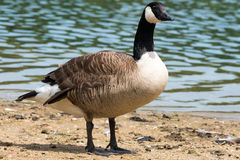 Canadian Goose (Kanada Gans) Royalty Free Stock Photo