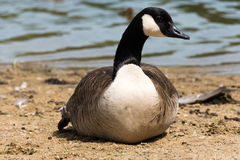 Canadian Goose (Kanada Gans) Royalty Free Stock Photography