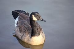 Canadian Goose in a lake. On a winter`s day Royalty Free Stock Photography