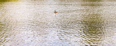 Canadian Goose on Lake Centennial Park Nashville, Tennessee. A Canadian Goose gently swims across the lake of Centennial Park. This Public Park offers solace for Stock Photo
