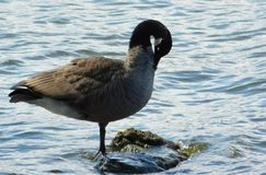 Canadian goose in a lake. Photo of a Canadian goose in a lake with water in the background Stock Photography