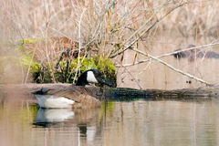 Canadian Goose on Lake. Swimming and eating grass on a beautiful sunny day Stock Image