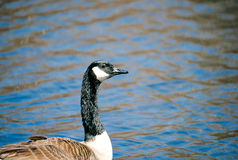 Canadian Goose on Lake. Swimming and eating grass on a beautiful sunny day Royalty Free Stock Photography