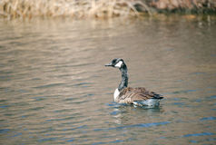 Canadian Goose on Lake. Swimming and eating grass on a beautiful sunny day Stock Photo