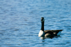 Canadian Goose on Lake. Swimming and eating grass on a beautiful sunny day Stock Photos