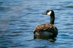 Canadian Goose on Lake. Swimming and eating grass on a beautiful sunny day Royalty Free Stock Photo