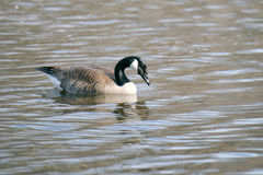 Canadian Goose on Lake. Swimming and eating grass on a beautiful sunny day Royalty Free Stock Photos