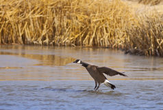 Canadian Goose Landing Royalty Free Stock Photo