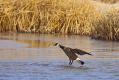 Canadian Goose Landing Royalty Free Stock Photo
