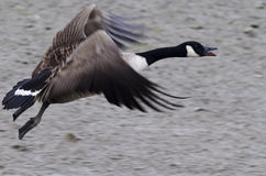 Canadian goose landing Stock Photos