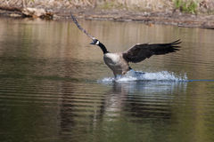 Canadian goose landing on water Royalty Free Stock Photo