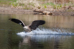 Canadian goose landing on water Stock Image