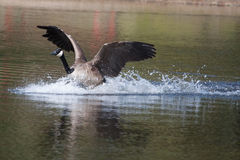 Canadian goose landing on water Royalty Free Stock Image