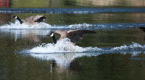 Canadian goose landing on water Stock Images