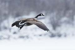 Canadian goose on landing Stock Images