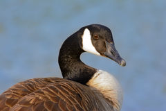 Canadian Goose looking toward camera with blurred blue water bac Stock Images