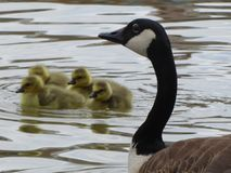 Canadian Goose Looks Over Goslings stock photography